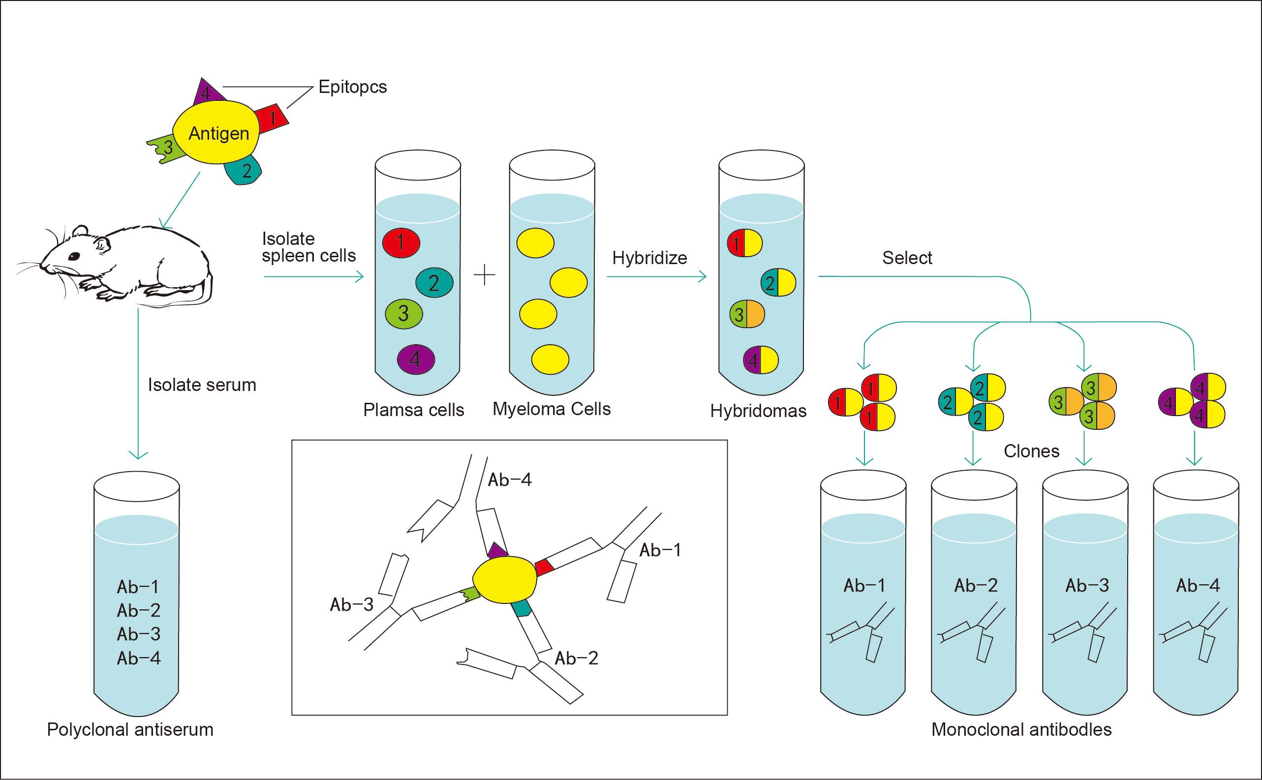 技术服务-单克隆抗体制备 服务编号:SV2000 一、服务内容 本服务项目主要是根据客户的要求免疫Balb/c小鼠,提取B细胞与SP2/0骨髓瘤细胞融合,制备特异性的鼠单克隆抗体。 1、客户可提供抗原制备鼠源单克隆抗体,抗原可包含:天然蛋白、重组蛋白、细胞或细胞提取液、病毒或病原体、菌种或菌体蛋白、小分子多肽、化合物;其中小分子多肽和化合物等半抗原免疫前需偶联载体蛋白。 2、客户可提供蛋白名称、GeneID、核酸序列、氨基酸序列等信息,我公司根据客户的实验需求设计抗原、合成多肽抗原或表达蛋白抗原,免疫动物