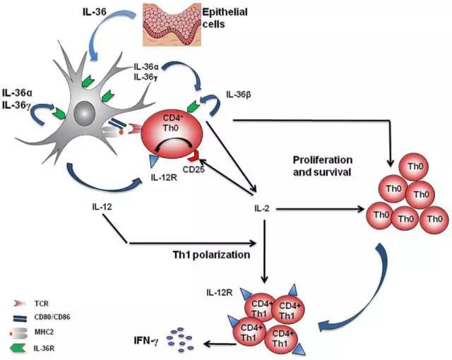 大鸡吧愹il�`�����_白细胞介素-36(il-36)